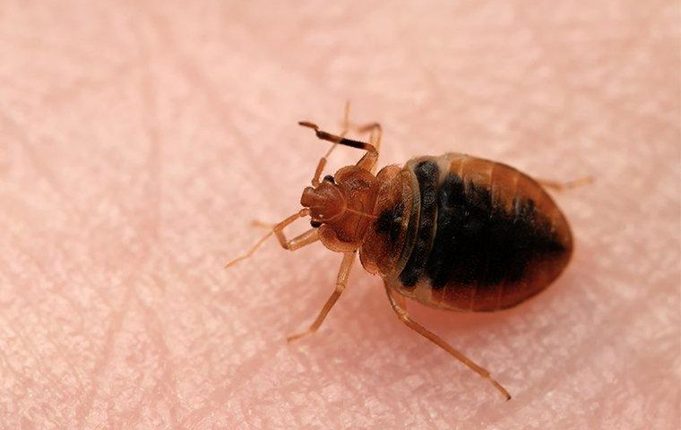 a bed bug on the skin of a person