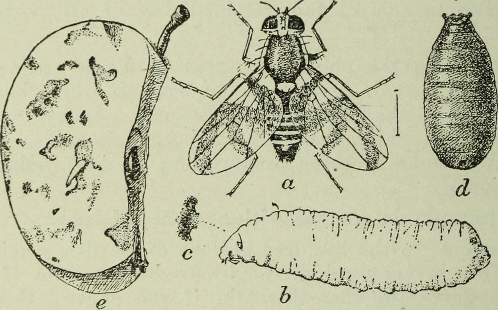 Drawing of the larvae to fly process and decomposition of an apple