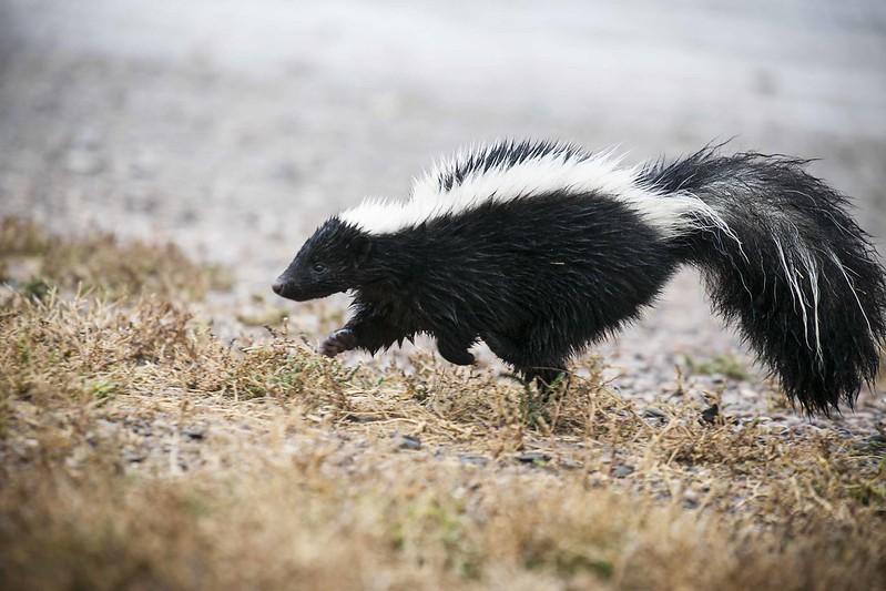 Skunk running