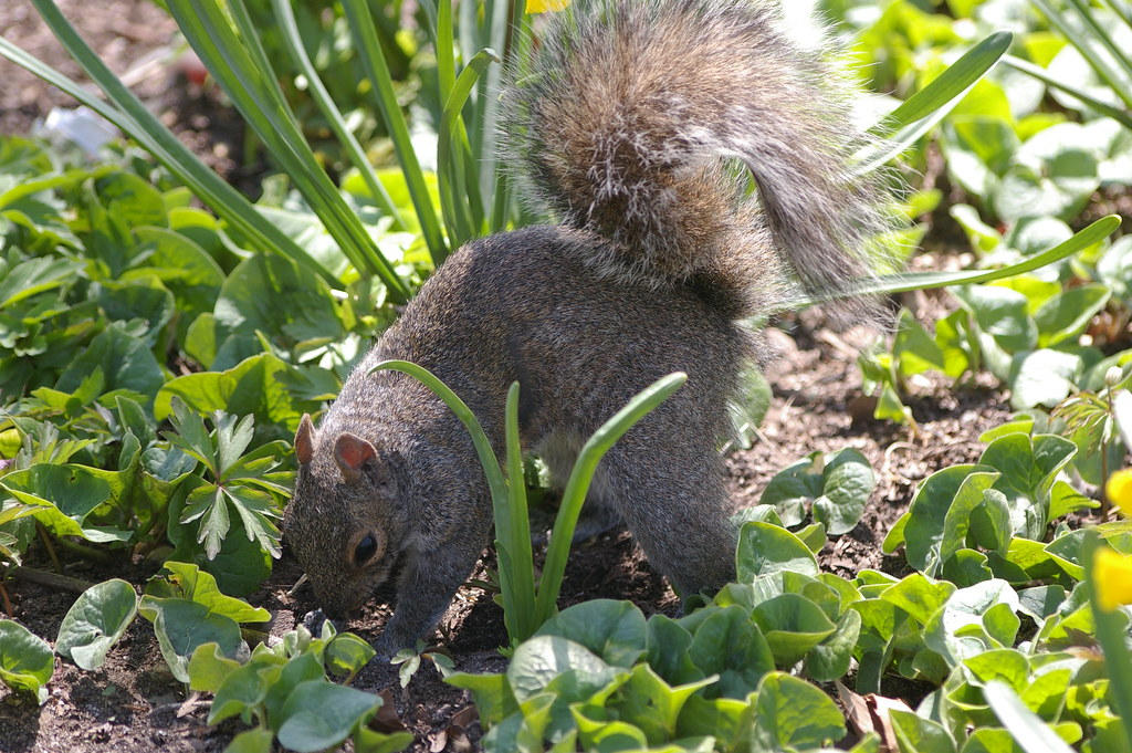Squirrel burying an acorn