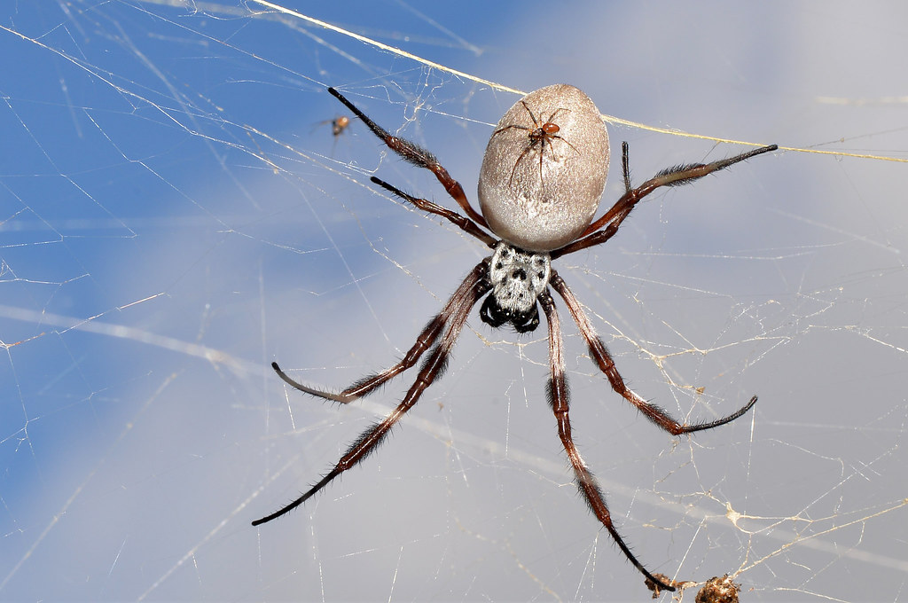 An orb weaver spider in its web