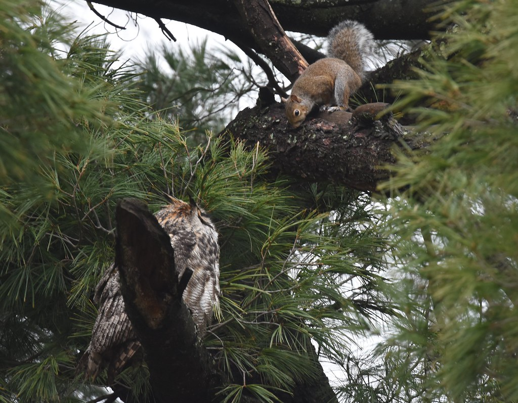Squirrel facing off with an owl, one of its prdators