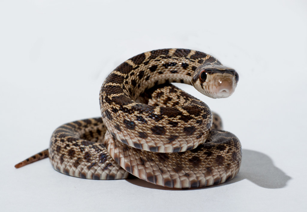 A coiled snake ready to pounce