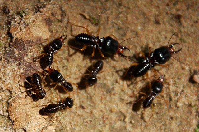 Dark Southeastern Subterranean Termites