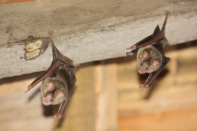 Two bats hanging from rafters
