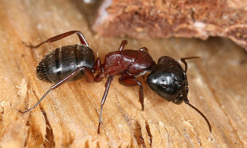 Reddish-black carpenter ant, side view