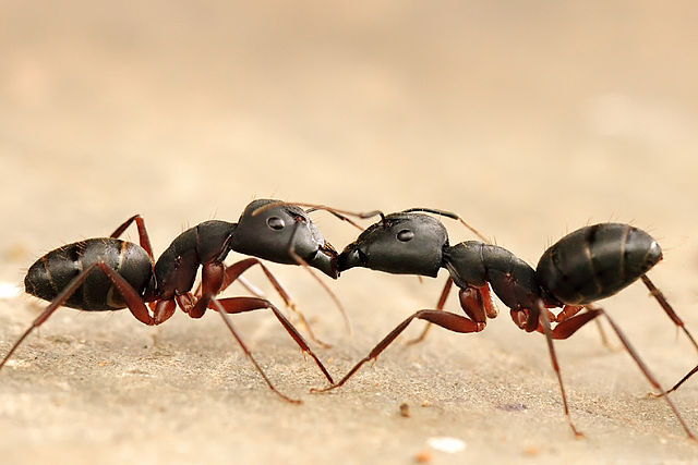 Ants battling one another