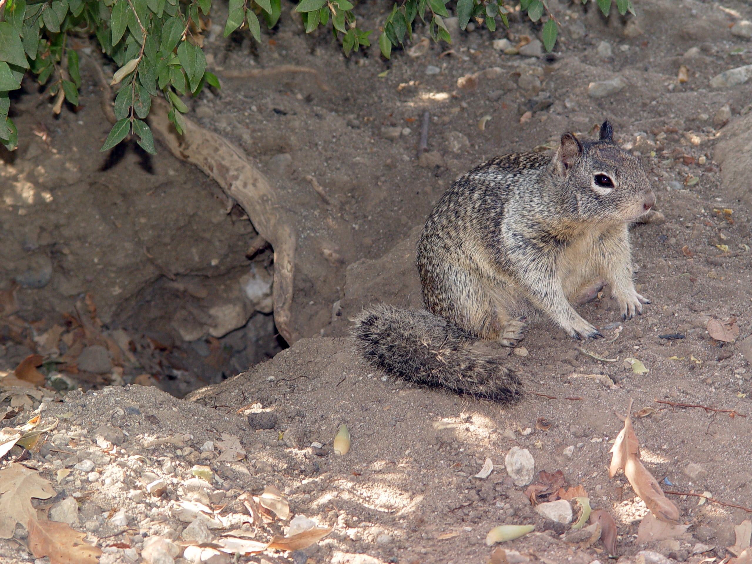 Squirrel next to its burrow hole
