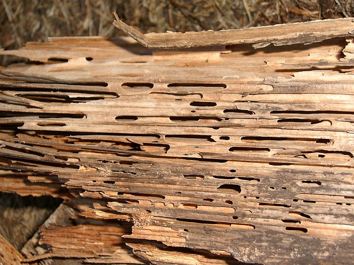 Wood damage caused by Carpenter ants
