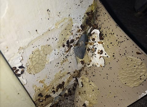 severe bed bug infestation