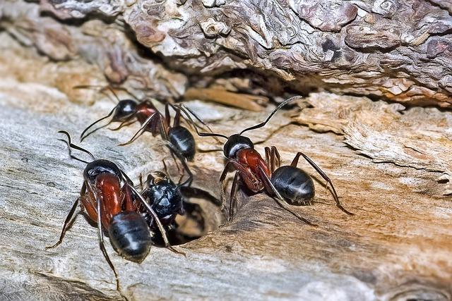 Close up of group of carpenter ants