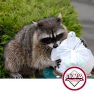 raccoon getting into the trash