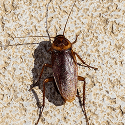 american cockroach climbing on home