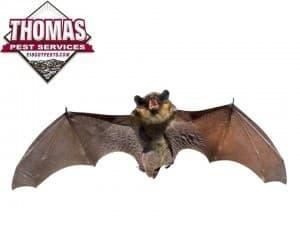 large brown bat in new york