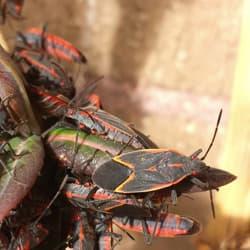 boxelder bug infestation