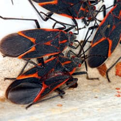 boxelder bugs on the side of a home