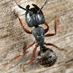 carpenter ant on water damaged wood