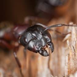 carpenter ant damaging wood