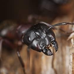 close up image on a damaging carpernter ant on new york property