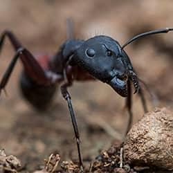 carpenter ant chomping away on wood in the backyard