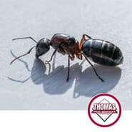 large red and black carpenter ant