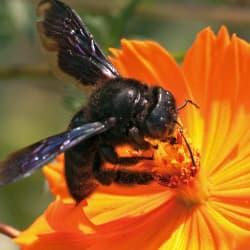 carpenter bee up close