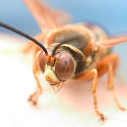 cicada killer wasp up close