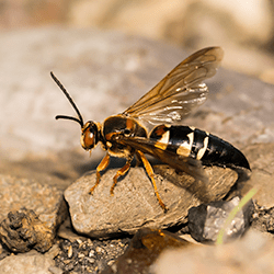 a cicada wasp killer outside of an albany home