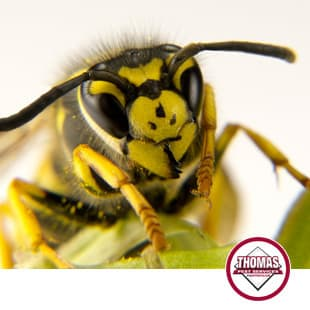 yellow jacket becoming aggressive in albany