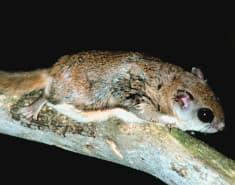 albany flying squirrel