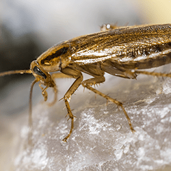 german cockroach in albany home