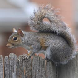 gray squirrel on fence