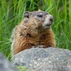 groundhog on rock
