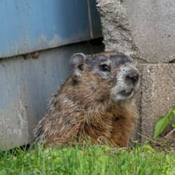 groundhog digging near albany home