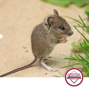 tiny brown house mouse in albany ny