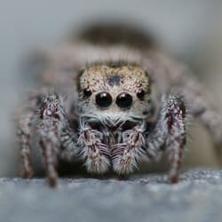 jumping spider found in albany