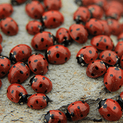 cluster of lady bugs