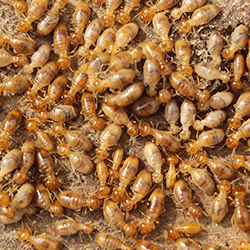 large amount of termites near albany home
