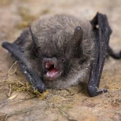little brown bat up close
