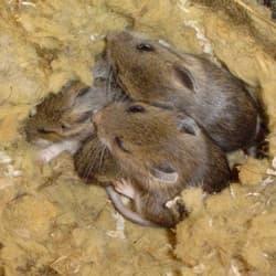 mice resting in attic space