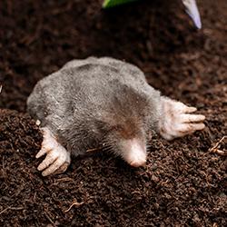 mole digging