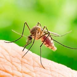 a mosquito biting a saratoga county resident in the bare skin of her forarm on a bright sunny day