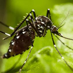 mosquito up close in albany, ny