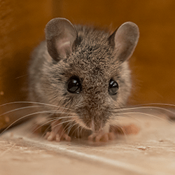 mouse found in albany home