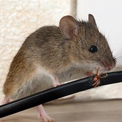 mouse inside schenectady home