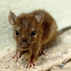 mouse found in an albany home