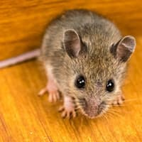 mouse found in the kitchen