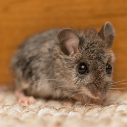 mouse in living room of albany home
