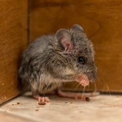 mouse in new york house