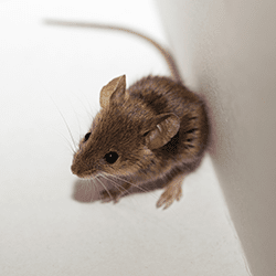 mouse found in home